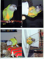 Print four photos, Senegal Parrot