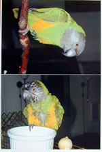 Print two photos, Senegal Parrot